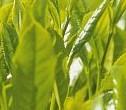 Grönt te förebygger sjukdomar och är bra för hälsan