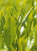 Grönt te mycket bra för hälsan
